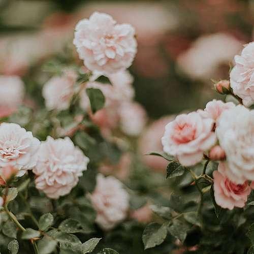 Празник с аромат на рози събира туристи от цял свят в Казанлък