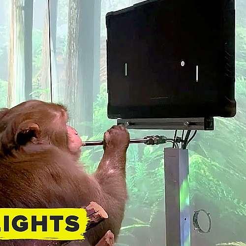 Чипирана маймуна играе електронни игри (видео)