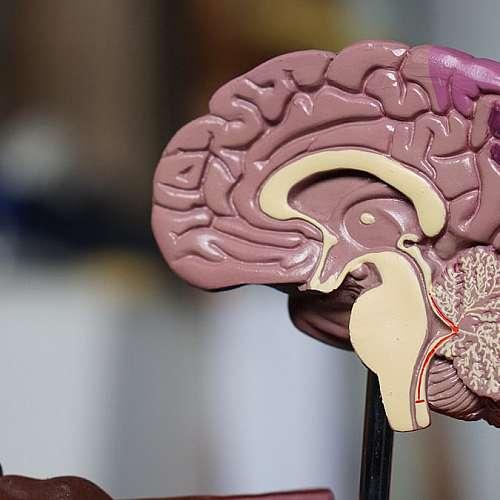 Учени откриха причината за смаляването на мозъка на съвременния човек