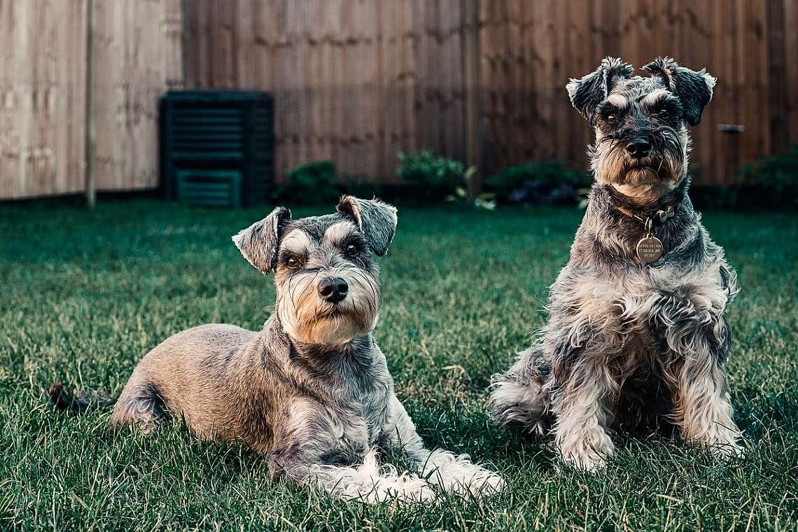 Породата мини шнауцер (Miniature Schnauzer) е сред най-агресивните кучета