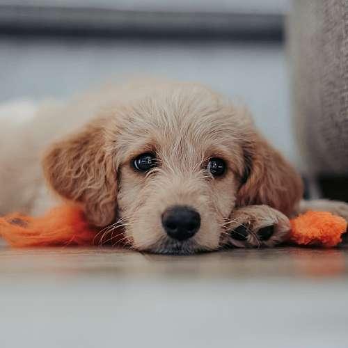 Малките кучета в зоомагазините разнасят опасна бактерия