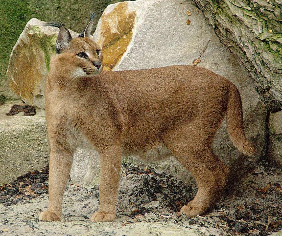 Каракалът е хищник от семейство Коткови подобен на риса, но малко по-дребен от него.