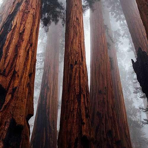Емблематични секвои  в национален парк в САЩ  оцеляха в горски пожар