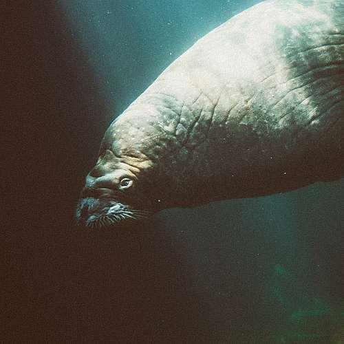 Огромен скитащ се морж измина над четири хиляди километра