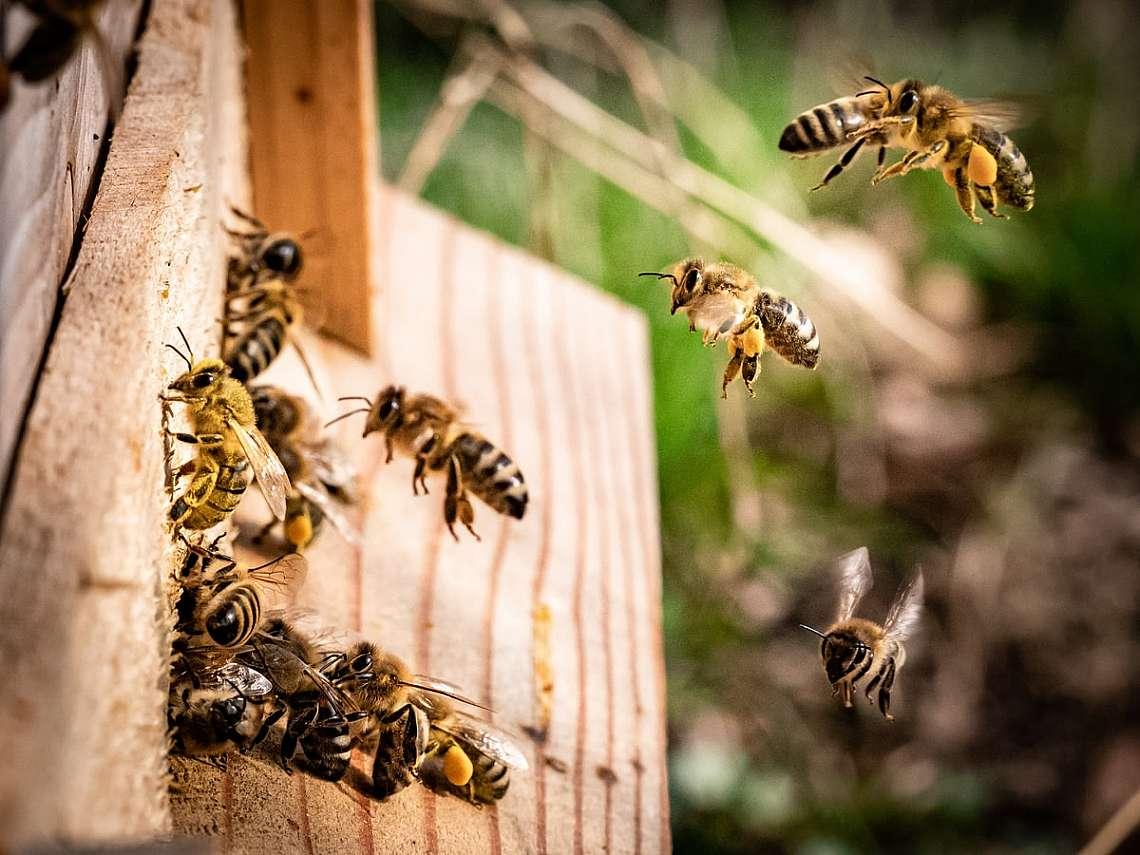 Медоносни пчели в кошер