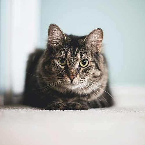 Учени определиха степента на болка при котки по мимиките