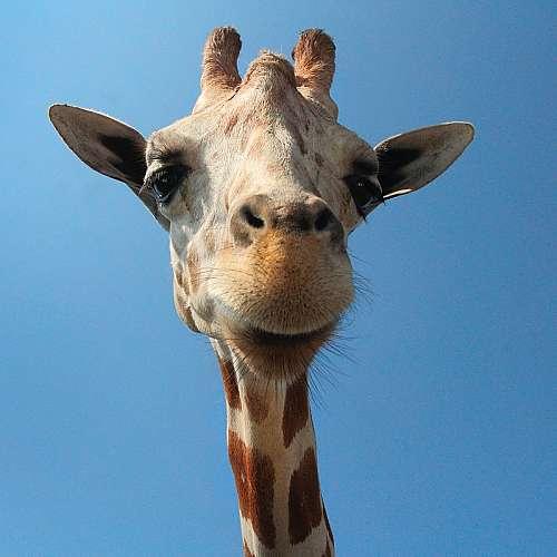 Генетично изследване потвърди, че жирафите са четири отделни вида