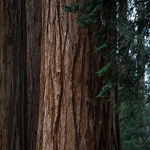 Гигантски секвои в Калифорния бяха увити с одеяла, за да оцелеят при пожари
