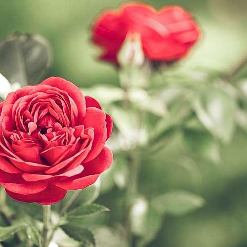 В Карлово започна традиционният празник на маслодайното цвете