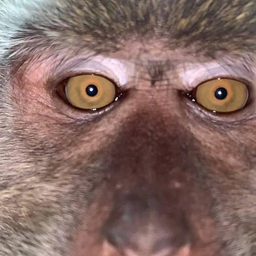 Маймуна краде телефон и си прави селфи