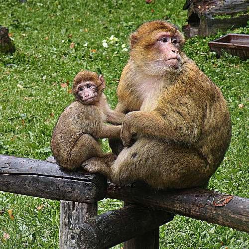 Маймуни бягат от зоопарк за трети път