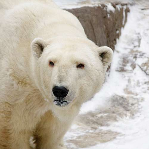 Бели мечки започнаха да събират яйца