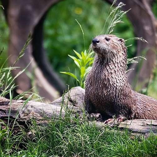 Видри в зоопарк в САЩ са с положителен резултат за коронавируса